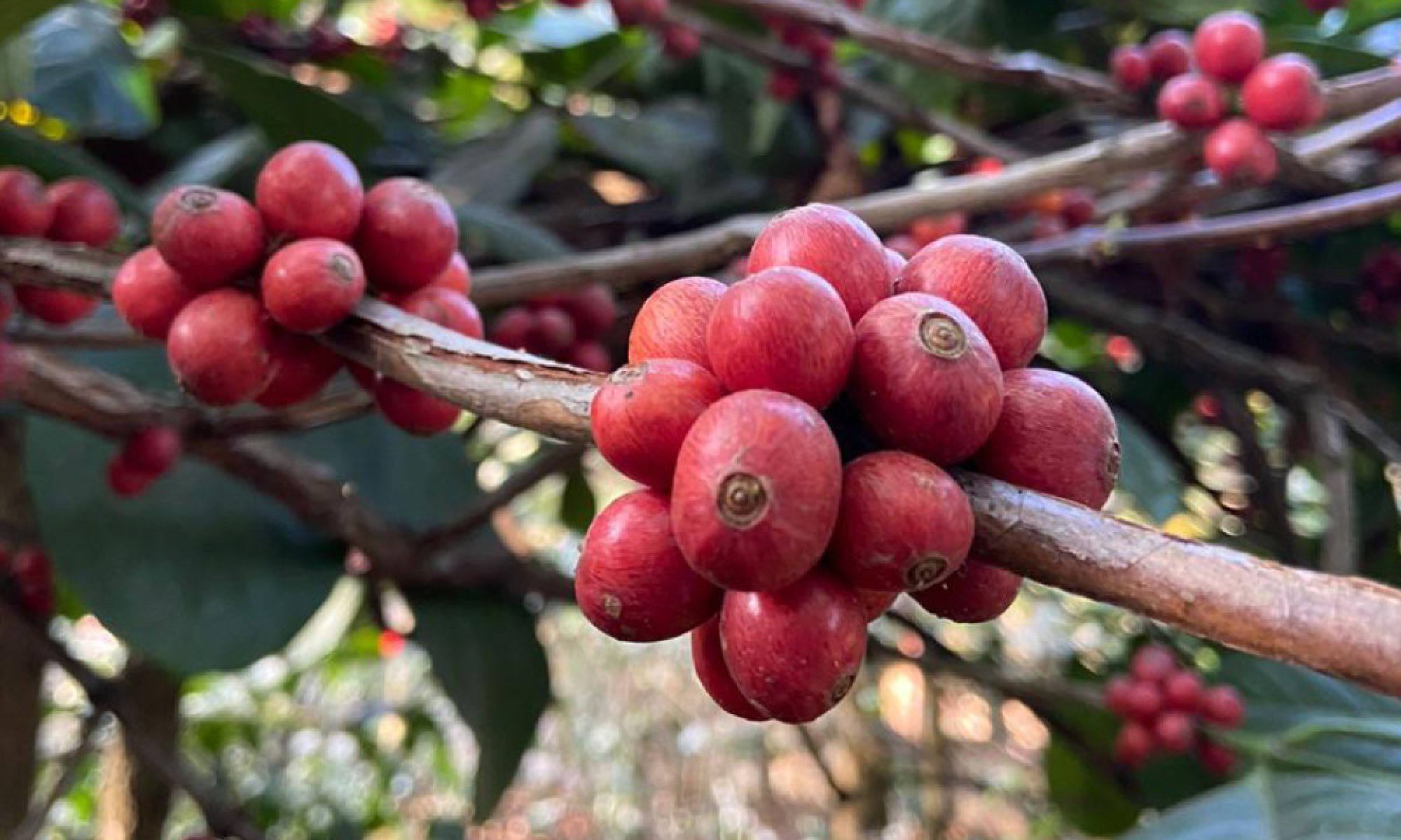 Excelsa-Coffee-6